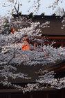 3月29日夕方の桜-5