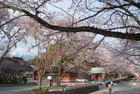 3月29日夕方の桜-9