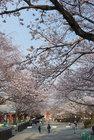 3月29日夕方の桜-10
