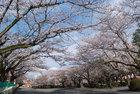 3月31日雨上がりの桜-2