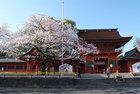 3月31日雨上がりの桜-3