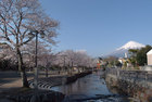 3月31日雨上がりの桜-5