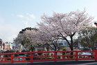 3月31日雨上がりの桜-7
