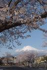 3月31日雨上がりの桜-11
