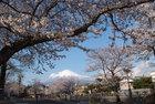 3月31日雨上がりの桜-12