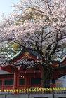 3月31日雨上がりの桜-17