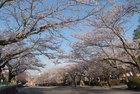 3月31日雨上がりの桜-18