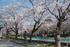 4月3日の桜-5