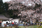 狩宿の下馬桜-2