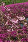 富士山さくらの園-2
