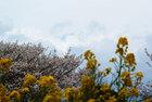 春の菜の花さくらまつり4月13日-7